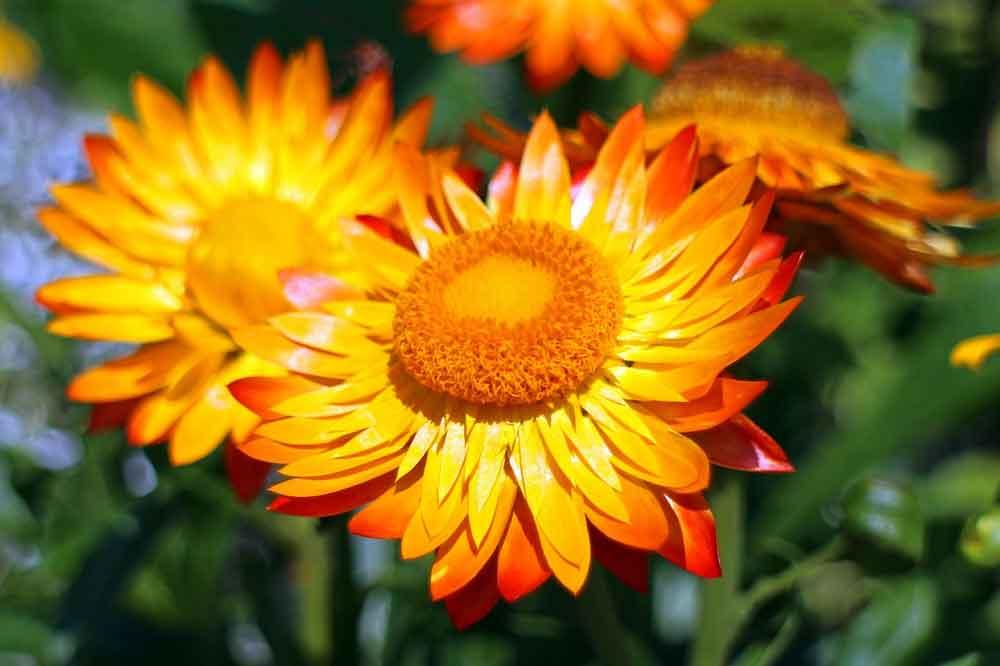 Strohblumen Trocknen gartentipps im september kgv hammonia